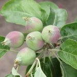 Почему осыпается завязь у яблони, как бороться