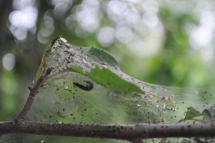 На вишне появилась паутина, что делать