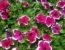 Чем подкормить петунии во время цветения