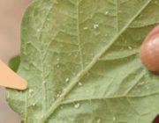 петунья-липкие-листья.