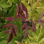 Почему листья пионов краснеют, что делать