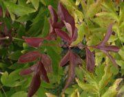 пионы-листья-покраснели.