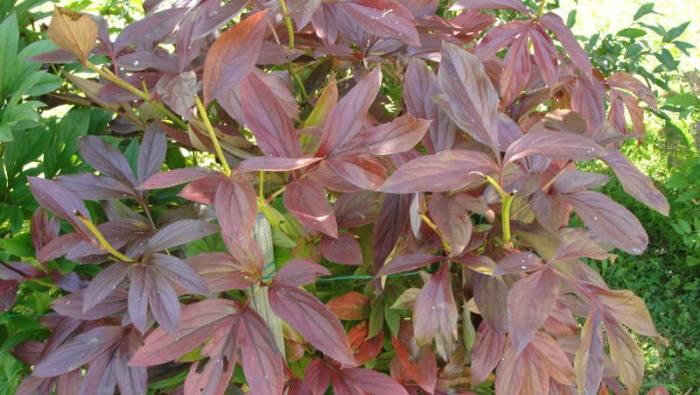 пионы-листья-покраснели
