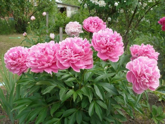 подкорика-пионов-после-цветения.