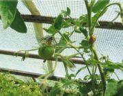 помидор-осыпается-завязь.