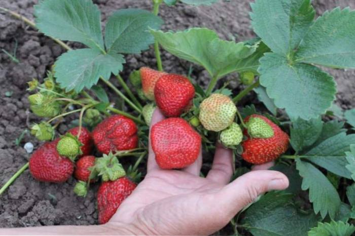После чего можно сажать клубнику весной: лучшие предшественники