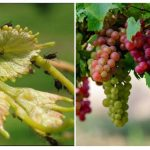 Как бороться с тлей на винограде: препараты и народные средства
