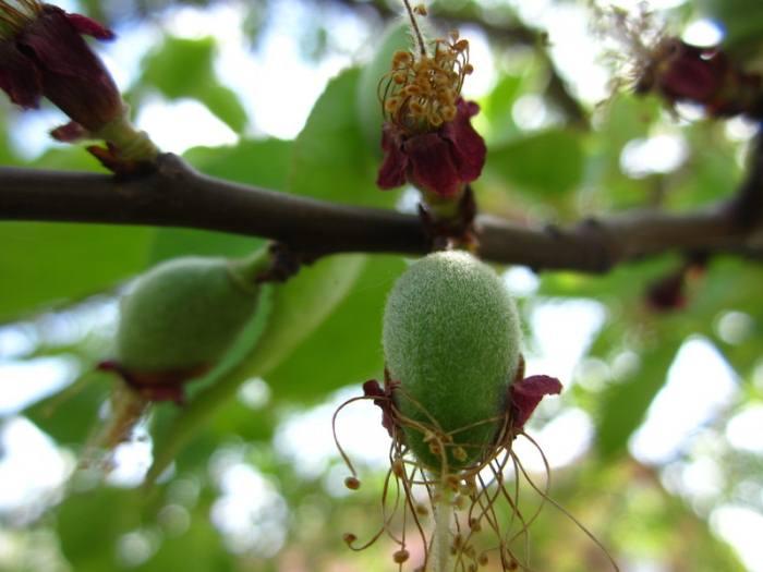 Почему осыпается завязь у абрикоса, что делать