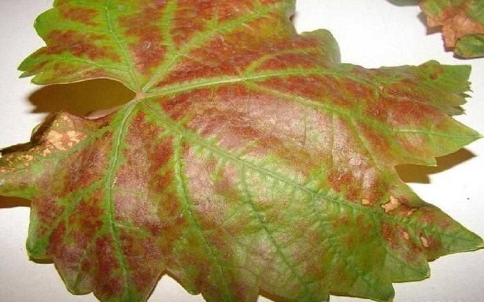 Бурые пятна на листьях винограда: почему появляются, чем обработать