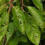 Дырки на листьях вишни: кто ест, чем обработать