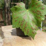 На листьях винограда коричневые пятна: причины появления