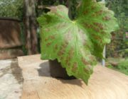 коричневые-пятна-листья-винограда.