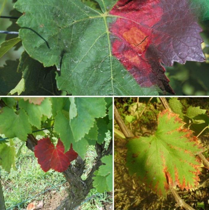 красные-пятна-на-листьях-винограда.