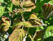 малина-скручиваются-листья
