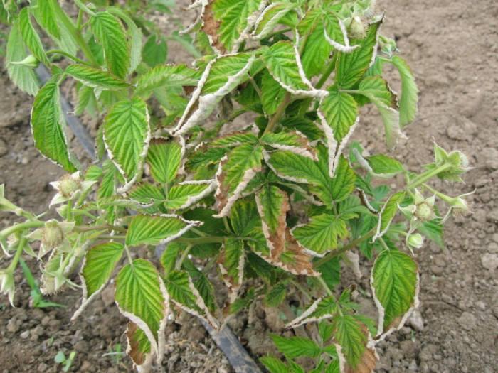 малина-скручиваются-листья.