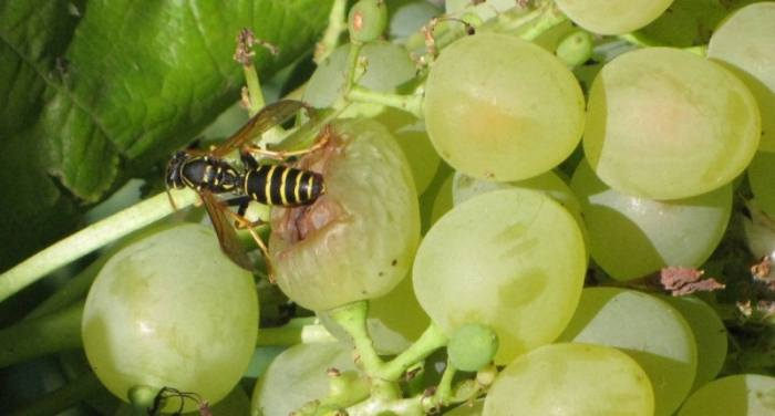 осы-виноград.