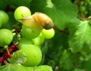 улитка-на-винограде.