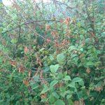 Почему войлочная вишня сохнет после цветения