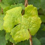 Выпуклые пятна на листьях винограда: причины появления, как бороться