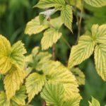 Почему желтеют листья у малины, что делать