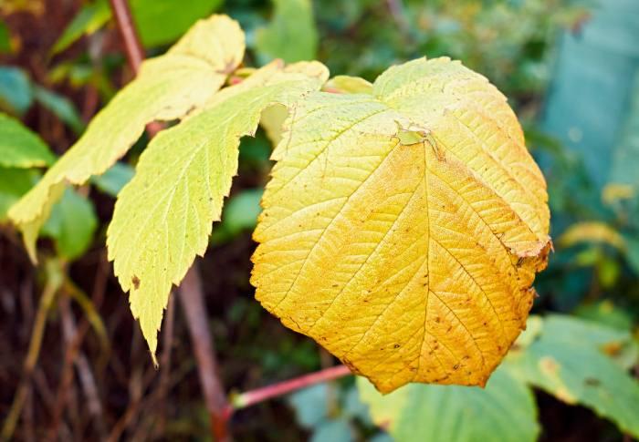 желтеет-лист-малины