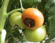 Vershinnaya-gnil-tomatov1