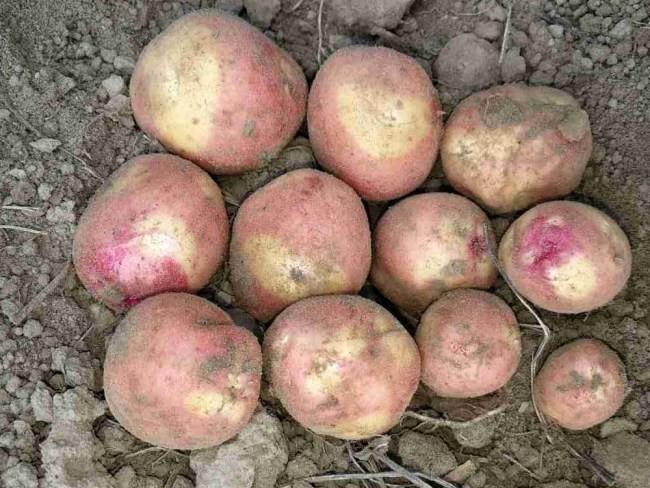uborka-kartofelya
