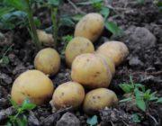 uborka-kartofelya2