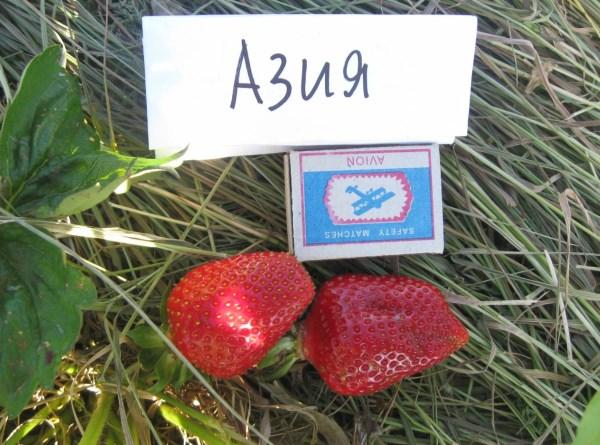 Сорт клубники Азия