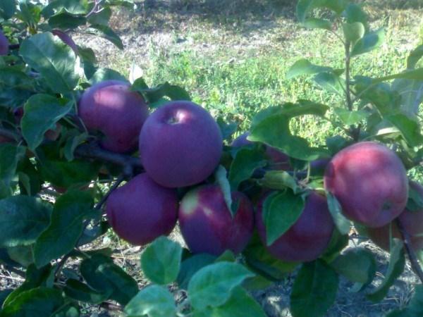 Сорт яблони Либерти
