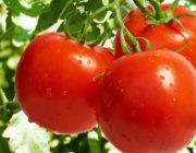 Сорта томатов устойчивых к фитофторозу