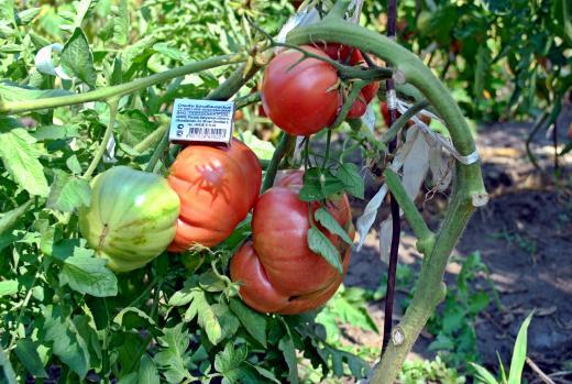 Сорт томата Царский подарок