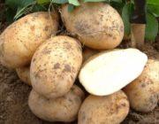 Сорта картофеля белорусской селекции