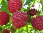 Сорта малины для Урала