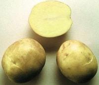 Сорт картофеля Аксамит
