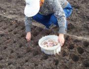 Благоприятные дни для посадки чеснока осенью 2020 года