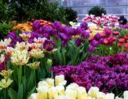 Благоприятные дни для посадки тюльпанов в 2020 году