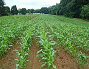 Благоприятные дни для посева кукурузы в 2019 году