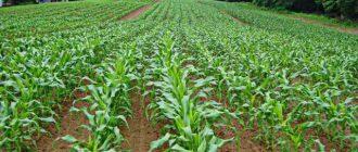 Благоприятные дни для посева кукурузы в 2020 году