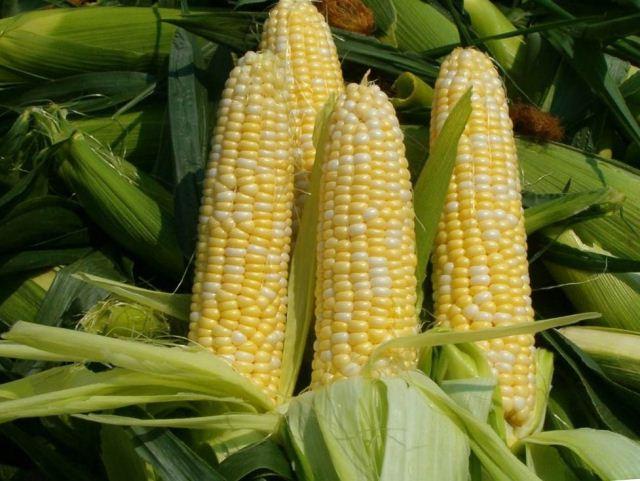 посадка кукурузы,,.