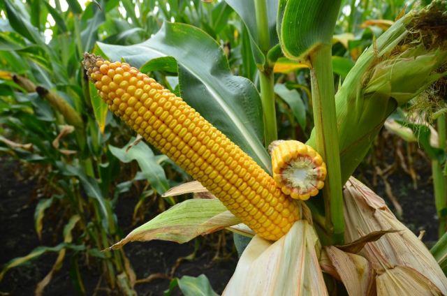 посадка кукурузы.,