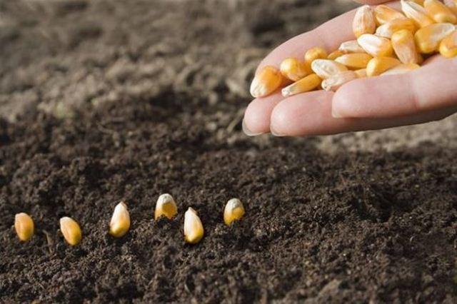 посадка кукурузы,