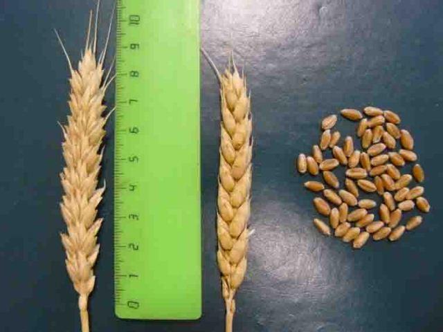 посадка пшеницы..