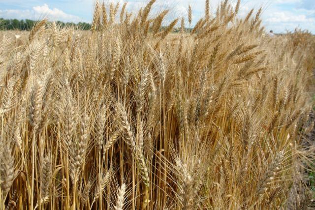 посадка пшеницы