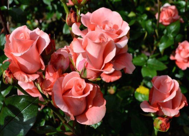 Благоприятные дни для посадки роз в 2020 году