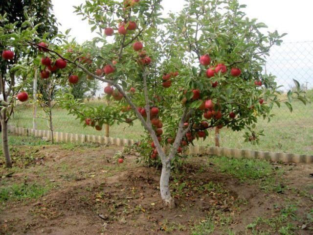 посадка яблонь.,