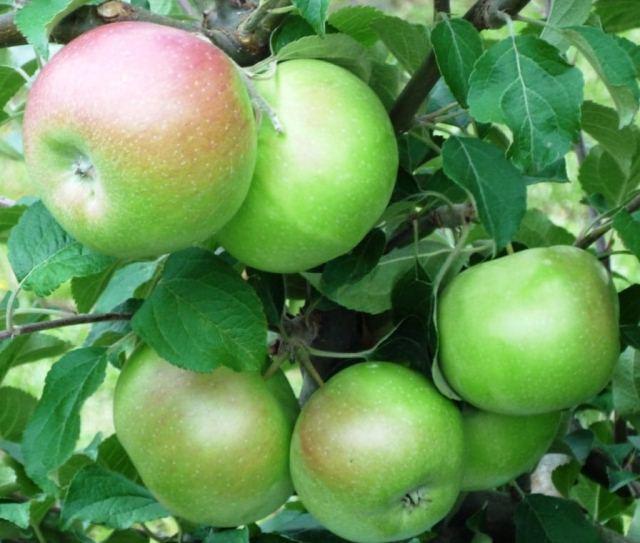 посадка яблонь,,.