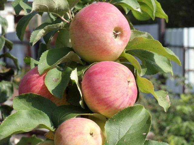 посадка яблонь,,