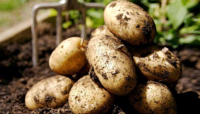 посадки картофеля.,
