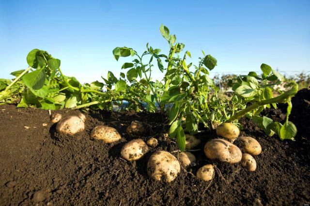 посадки картофеля,.